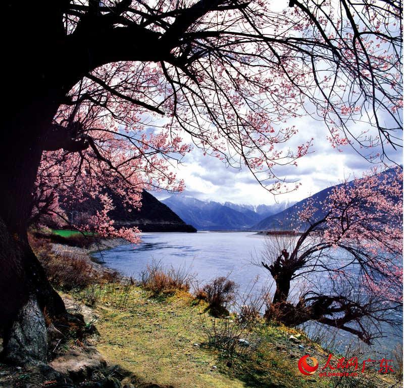 林芝尼洋河畔盛开的桃花.林芝县旅游局供