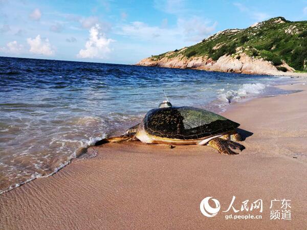 卫星追踪惠东海龟产卵