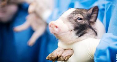 世界首例神经疾病模型猪诞生
