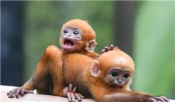 广州长隆:珍稀黑叶猴诞下龙凤胎