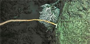 我国在南海甘泉海台首次发现冷水珊瑚群