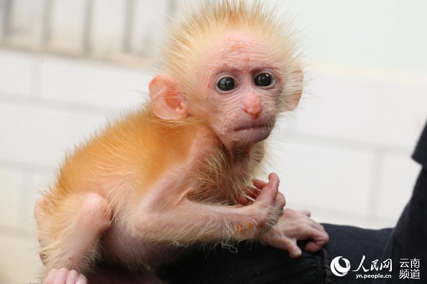 近日,雲南省普洱市孟連縣的一隻小猴被人抓住並在路邊兜售,兩名熱心市民看到后把幼猴買下並交給了當地森林公安民警。民警對照圖譜並請專業人員進行鑒定后,確認這是一隻國家一級保護野生動物北豚尾猴。 接收到這隻幼猴后,孟連縣森林公安局工作人員趕緊為小家伙沖泡了奶粉,咬著奶嘴大口大口吃奶的幼猴模樣十分呆萌可愛。經過測量,這隻猴子僅有21厘米長,體重也隻有1.