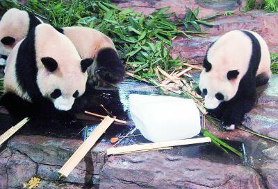 """广州香江野生动物世界的大熊猫""""抱冰消暑"""""""