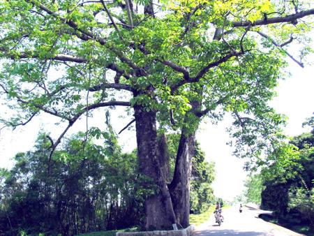 有棵150年树龄的古木棉树