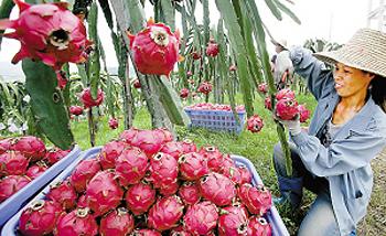 麒麟山火龙果成为深圳首个正式注册的水果品牌