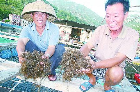 图为昨天大万山岛养殖户向记者展示龙须藻