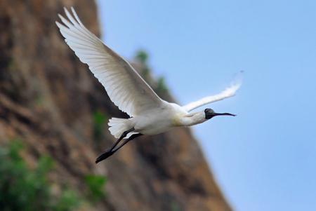 黑面琵鹭_重点保护鸟类物种组图之一--广东视窗--人民网