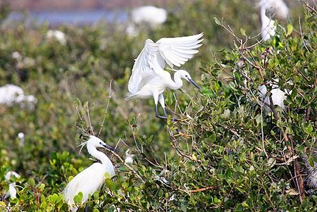 别名:白鹭   保护等级:国家Ⅱ级保护动物